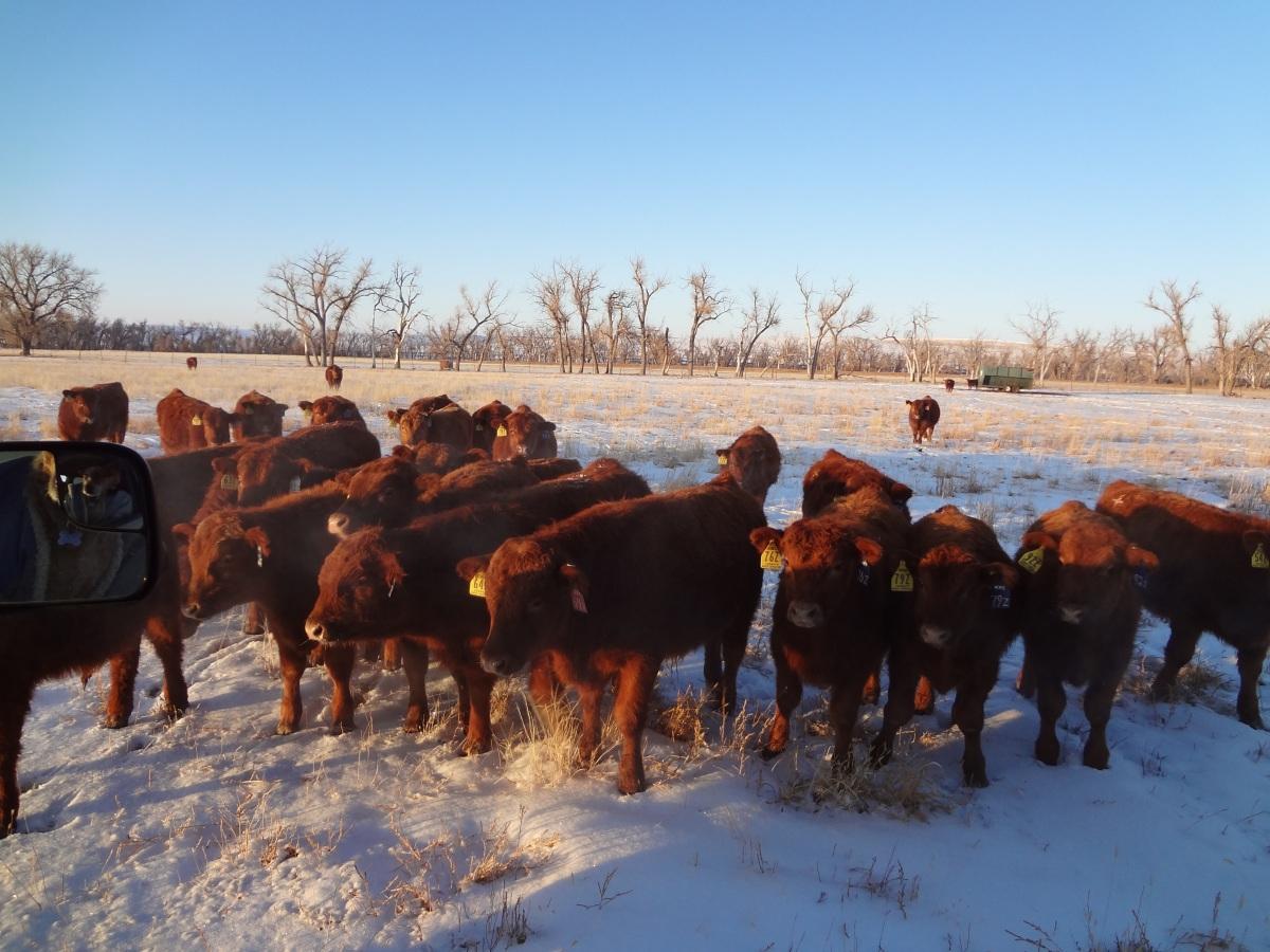 2013 2-year-old bulls