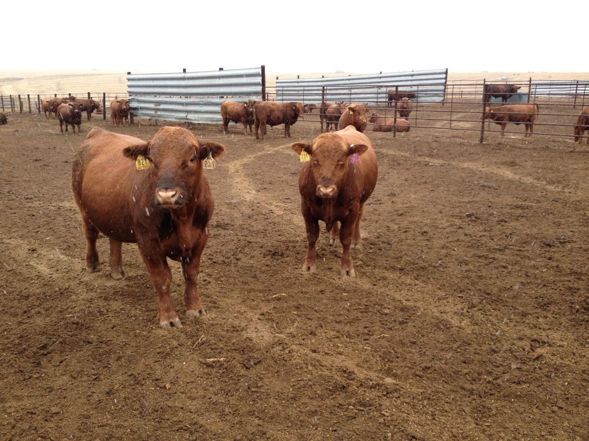2012 2-year-old bulls